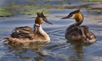 Helen Holway_Family of Crested Grebes