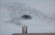Peter Burt_Murmuration of starlings
