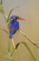 Barbara Stanley - malachite kingfisher