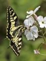 Jenny Collier_Swallowtail feeding