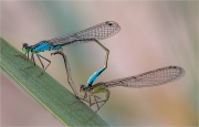 Ian Tulloch_Blue-Tailed Damselflies in Tandem