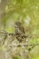 Alan Linsdell_Pygmy Owl with Linnet