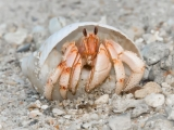Andre Neves_Strawberry hermit crab