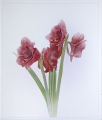 Paul Ravenscroft_Simply Amaryllis