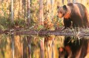 Alan-Linsdell_Brown-Bear-in-Taiga-Forrest