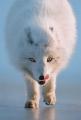 Alan Linsdell_Arctic Fox