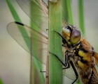 Dave Cole_Four Spotted Chaser
