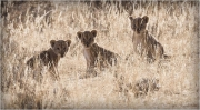 Barbara Stanley _Lion Cubs