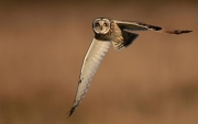 Ron Byfield_Short eared Owl