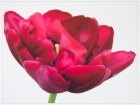 Cath Brooksbank_Tulip Antriaciet