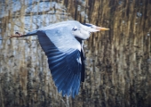 Ian Tulloch_Grey Heron