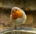 Rosemary Burt_Inquisitive Robin
