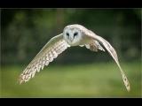 Gary Baker_Barn Owl Quatering