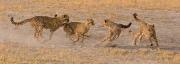 Ray Hewett_Cheetah Cubs Playing_Botswana