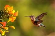 Ian Tulloch_Santa Marta Woodstar Hummingbird