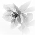 Cath Brooksbank_Lenten Rose
