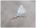 Keith Truman_Chalkhill Blue Resting