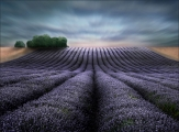 Peter North_Lavender Fields at Dawn