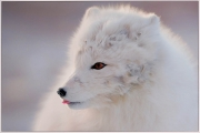 Alan Linsdell_Tasting the Air, Arctic Fox