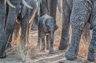 Dave Cole_Protecting the newborn, Kruger National Park