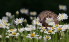 Peter North_Hiding in the Daisies