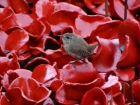 Keith Taylor_Poppies with Wren