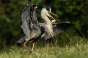 Alan Linsdell_Grey Heron Displaying