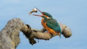 Alan Linsdell_Kingfisher and a Roach