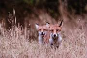 Alan-Linsdell_Focussed-Foxes
