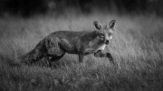 Andre Neves_Red fox