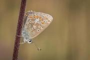 Andre Neves_Female common blue