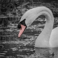 Andre Neves_Swan