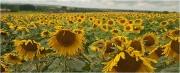 Bob Dennis_Sunflower Parade
