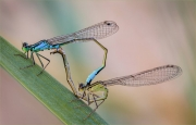 Blue-Tailed-Damselflies-in-Tandem