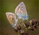 Common-Blues-Mating