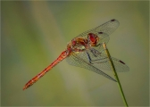 Common-Darter-Resting