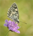 Marbled-White-on-Scabious