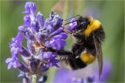 Ian Tulloch_Bumble-Bee on Lavender