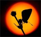Ian-Tulloch_Butterfly at Sunset