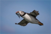 Ian-Tulloch_Puffin-with-Whisker-of-Sand-Eels