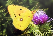 Ian-Tulloch_Clouded-yellow-finds-sweet-spot