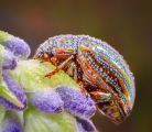 Ian-Tulloch_Rosemary-Beetle-with-Dew-Drops