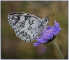 Ian Tulloch_Marbled-White-Nectaring