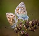 Ian-Tulloch_Common-Blues-Mating