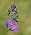 Ian-Tulloch_Marbled-White-on-Scabious