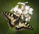 Jenny Collier_Swallowtail nectaring