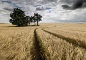 keith-truman_barley-copse