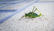 Pam-Aynsley_Bush-Cricket