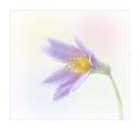 Paul Ravenscroft_Pasque Flower