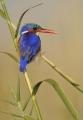 Barbara Stanley_Malachite Kingfisher